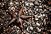 Echinoderm Photos - Stranded Sea Star by Wenata Babkowski