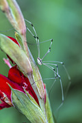 Harvestmen Photos - Strange Daddy Long Leg Spider by Kathy Clark