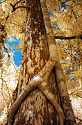 Strangler Fig Metal Prints - Strangler Fig Metal Print by Bob Pomeroy