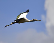 Migratory Bird Posters - StratoStork Poster by Al Powell Photography USA