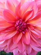Dinner-plate Dahlia Prints - Strawberry Orange Daiquiri Print by Lingfai Leung