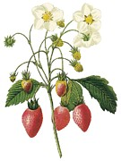 Strawberry Drawings Posters - Strawberry Poster by Spencer McKain