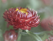 Strawflower Photos - Strawflower by David and Carol Kelly