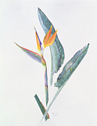 Bird Of Paradise Flower Painting Framed Prints - Strelizia Framed Print by Brenda Moore
