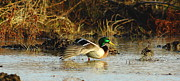 Waterfowl Prints - Stretching Mallard Drake Print by Robert Frederick