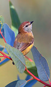 Striated Thornbill Print by Bill  Robinson