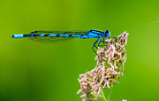 Damselfly Prints - Strike a Pose Print by Ian hufton