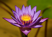 Macro Art Prints - Striking Nymphaea Print by Sabrina L Ryan