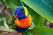 Penny Lisowski - Striking Rainbow Lorakeet