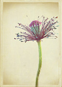 Flower Design Photos - Strip Tease Poppy by Lisa Knechtel