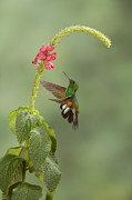 Juan Carlos Vindas Metal Prints - Stripe-tailed hummingbird  Metal Print by Juan Carlos Vindas