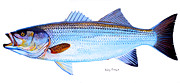Wahoo Painting Framed Prints - Striped Bass Framed Print by Carey Chen