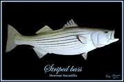 Striped Mixed Media Prints - Striped Bass Print by Greg Pezzoni