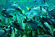 School Of Fish Digital Art - Striped Bass - Painterly v1 by Wingsdomain Art and Photography