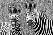 Jonathan Whichard - Striped Donkeys Zebra...