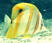 Amber Davenport - Striped Fish