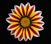Carol Welsh - Striped Gazania Flower