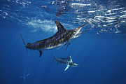 Schooling Prints - Striped Marlin Feeding On Baitball Of Sardines Print by Brandon Cole