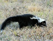 Orator Prints - Striped Skunk Print by Ira Runyan