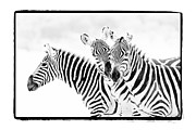 Zebra Face Prints - Striped Threesome Print by Mike Gaudaur
