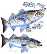 Trout Paintings - Stripers by Carey Chen