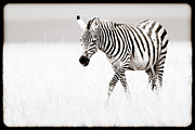 Zebra Art - Stripes On The Move by Mike Gaudaur
