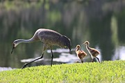 Sandhill Crane Posters - Stroll by the Pond Poster by Carol Groenen