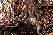 Tree Roots Photo Framed Prints - Strong Roots Framed Print by Louis Dallara