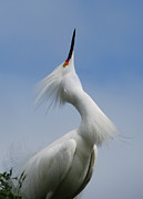 Snowy Egret Framed Prints - Strut Yer Stuff Framed Print by Skip Willits