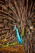 Azure Metal Prints - Strutting Peacock Metal Print by David Smith