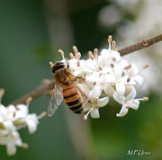 Nature Study Photo Prints - Study of a Bee Print by Maria Urso