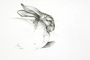 Pencil Sketch Framed Prints - Study of a Rabbit Framed Print by Jeanne Maze
