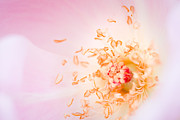 Nature Study Photo Posters - Study of a Rose One Poster by Lisa McStamp