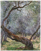 Olive Grove Framed Prints - Study of Olive Trees Framed Print by Claude Monet