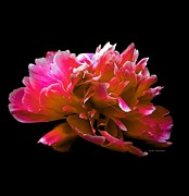 Fushia Framed Prints - Stunning Peonie Framed Print by Michelle Frizzell-Thompson