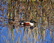 Puddle Prints - Stunning Shovelers Print by Al Powell Photography USA