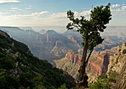 North Rim Framed Prints - Stunted pine North Rim Grand Canyon  Framed Print by Gary Eason