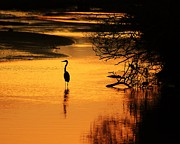 Gray Heron Prints - Sublime Silhouette Print by Al Powell Photography USA
