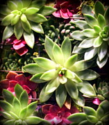 Nurseries Prints - Succulent Beauties Print by Karen Wiles
