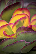 Succulents Prints - Succulent light Print by Garry Gay
