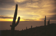 Cactus Shapes Prints - Succulent sunset Print by James Brunker