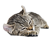 Susan Leggett Prints - Such a Sleepy Kitten Print by Susan Leggett