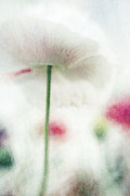 Lensbaby Close-up Posters - suffused with light V Poster by Priska Wettstein