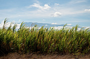 Most Photo Posters - Sugar Cane Field - Maui Poster by Paulette Wright