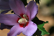 Rose Of Sharon Metal Prints - Sugar Coated Metal Print by Donna Kennedy