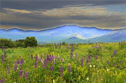 Lupines Framed Prints - Sugar Hill Lupines Framed Print by Andrea Galiffi