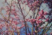 Flowering Trees Prints - Sugar Print by Laurie Search