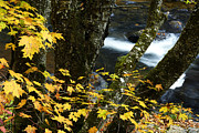 Williams River Scenic Backway Prints - Sugar Maple and Williams River Print by Thomas R Fletcher
