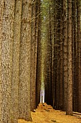 Pine Needles Photo Originals - Sugar Pine Walk by Blair Stuart