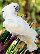 White Cockatoo Posters - Sulfur-crested Cockatoo Poster by Millard H. Sharp